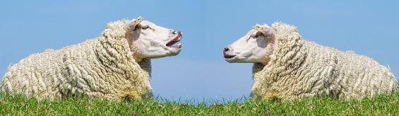 sheep-3557445_960_720